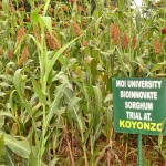 Working with Africa's orphan crops: Sorghum and millet project consortium strives to deliver more adaptable and high yielding varieties resilient to climate change