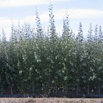 Mini-trees could bring 'next green revolution'