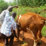 Filling the milk glass: East African farmers to gain from new recording device