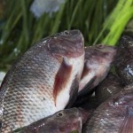 Fish genetics in the Livestock and Fish program: Year in review