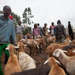 Smallholder farmers in Ethiopia review successes and challenges in sheep fattening