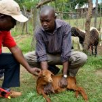 Improving the productivity of small ruminants in Kenya's climate-smart villages
