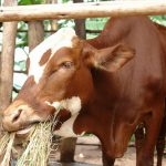 Livestock and Fish research contributes to Livestock Development Strategy for Africa