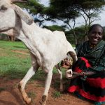 Community gender profiles help target small ruminant value chain interventions in Ethiopia