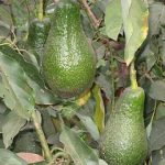 Beyond adoption – fruit farmers in Ethiopia are innovating with their Africa RISING technologies