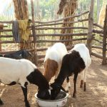 Transforming crop residues into a precious feed resource for small ruminants in northern Ghana