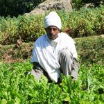 Africa RISING publishes a livestock feed and forage production manual for Ethiopia